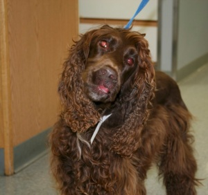 Left head tilt in a Springer Spaniel with peripheral vestibular dysfunction due to hypothyroidism.